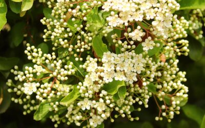 How to Make Elderflower Cordial at Home